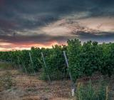 coltura vitigno maltempo